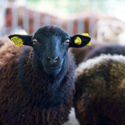 wełna z owcy